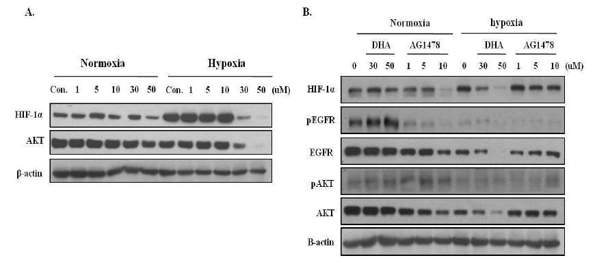 Hypoxia 조건에서 DHA에 의한 세포내 신호전달체계의 변화
