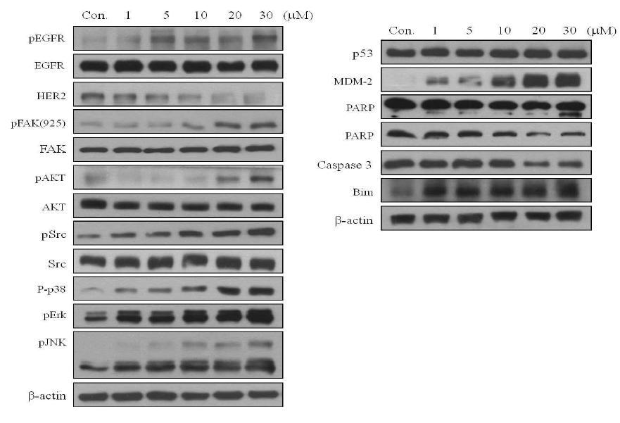 MDA-MB-231에서 KML001에 의한 세포 사멸 기전 규명