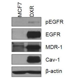 MCF7과 DXR의 세포내 단백질의 변화