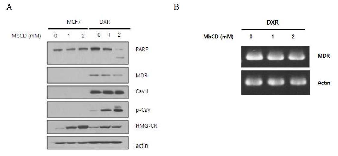 MbCD에 의한 세포사멸에 있어서 세포내 신호전달체계의 변화