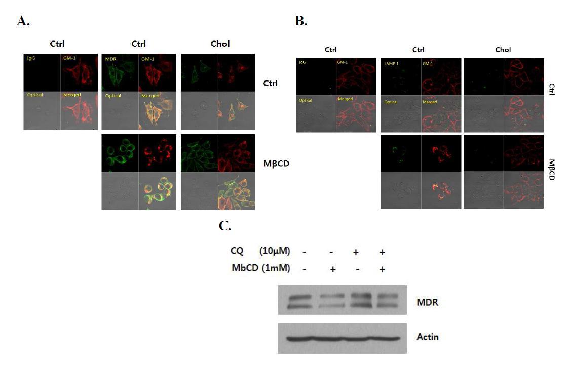 MbCD에 의한 raft/Caveolae의 lysosome으로의 이동과 MDR의 분해