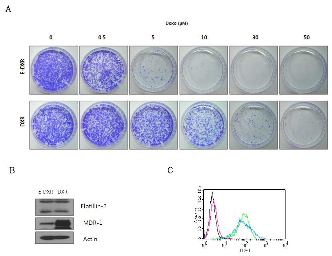 E-DXR과 DXR의 Doxorubicin에 대한 저항성과 Rafts/Caveolae의 비교