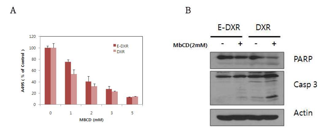 E-DXR와 D X R 세 포 주 의 MbCD에 민감성 비교