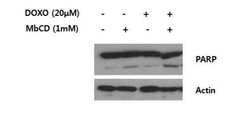 MbCD와 Doxorubicin조합에 의한 세포사멸의 민감성 증가