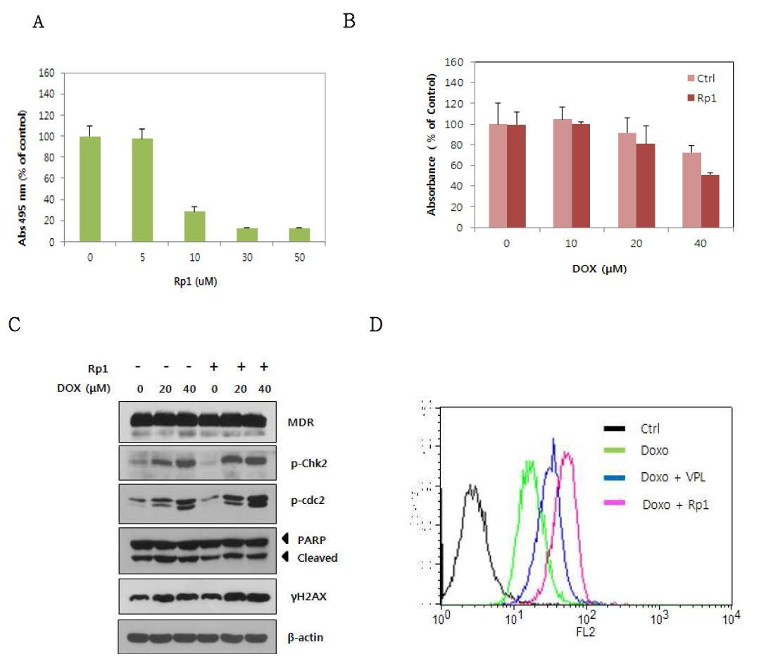 Rp1에 의한 doxorubicin 에 대한 저항성의 변화