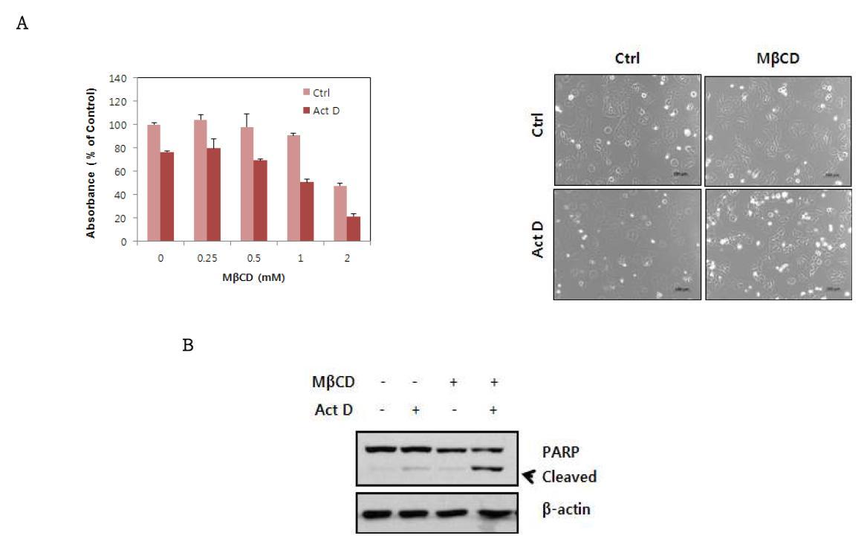Rp1에 의한 Actinomycin D에 대한 저항성의 저해효과