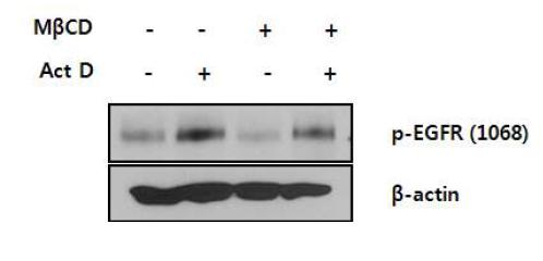 MbCD에 의한 p-EGFR의 변화