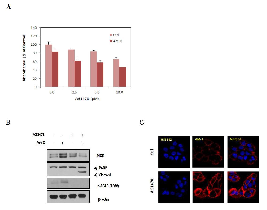 EGFR 저해가 Actinomycin D 에 대한 저항성에 미치는 영향