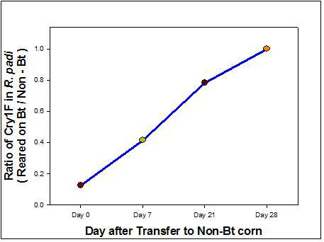 non-Bt 옥수수에서 성정한 기장테두리진딧물을 Bt 옥수수로 옮긴 후 체내 Bt 독소 단백질 검출 양상