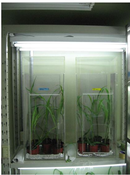 본교 사육실 밀폐 상태로 조성된 Bt 및 non-Bt 옥수수 미소 생태 환경