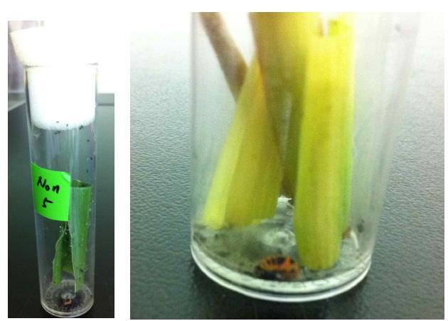 Bt옥수수와 non-Bt 옥수수를 섭식한 진딧물을 포식한 무당벌레의 성장 분석
