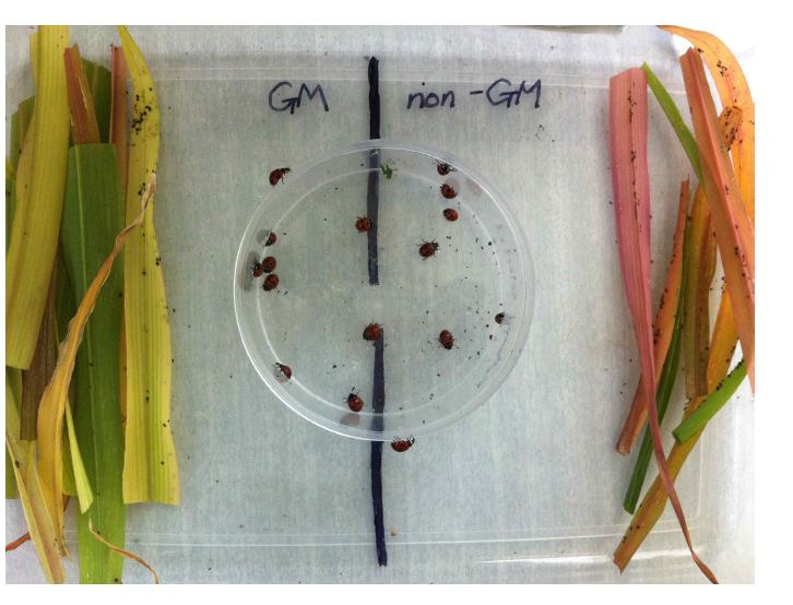 무당벌레 성충의 포식선호도