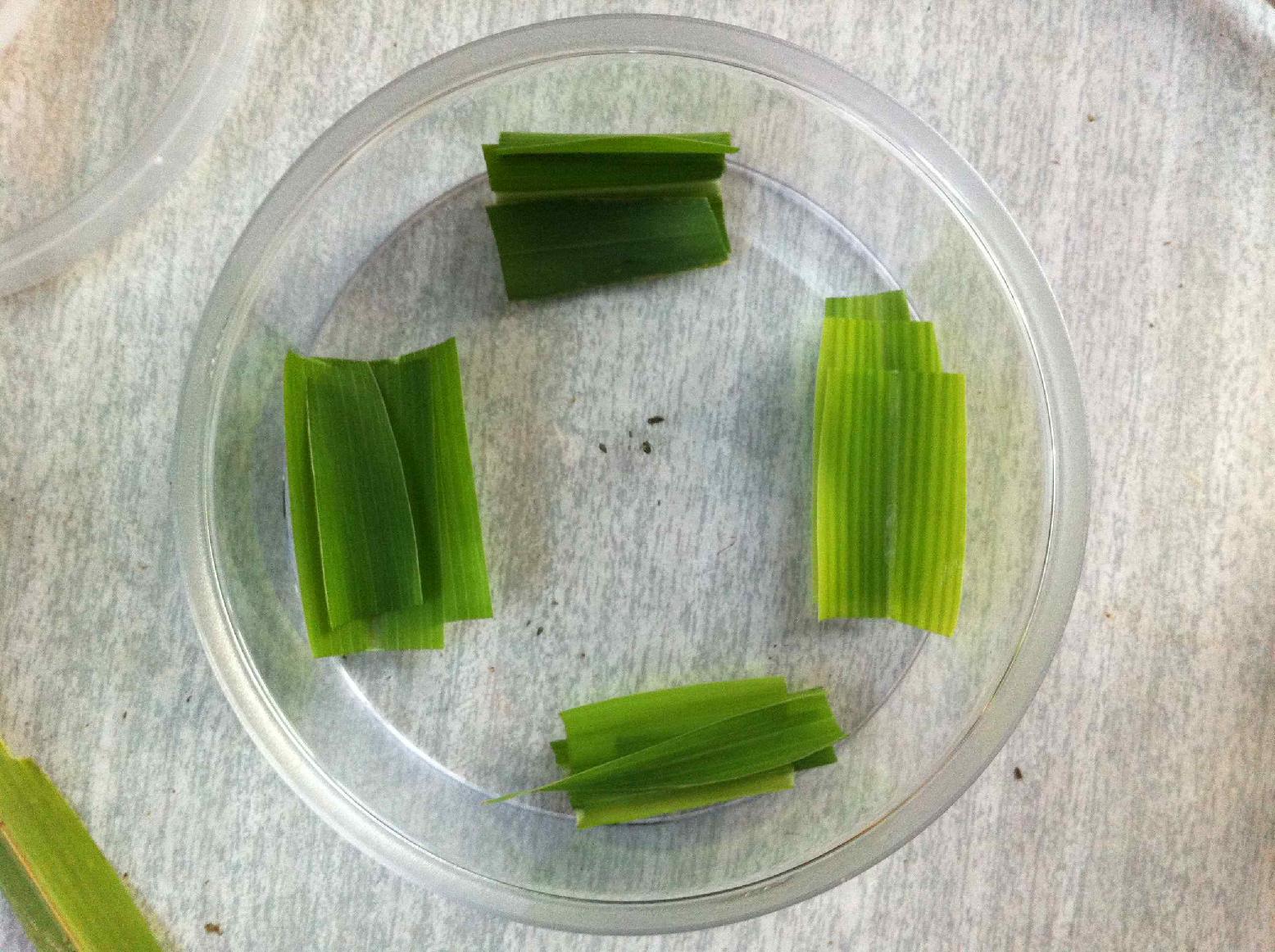 기장테두리진딧물의 옥수수 4종에 대한 기주선호도