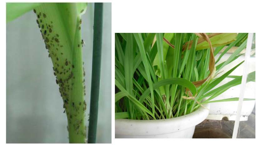 옥수수와 보리에 사육 중인 기장테두리진딧물