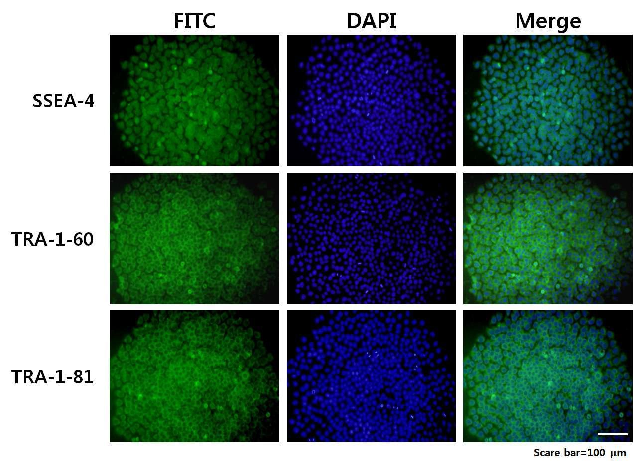 인간 배아줄기세포 SSEA-4, TRA-1-60, TRA-1-81의 발현 확인