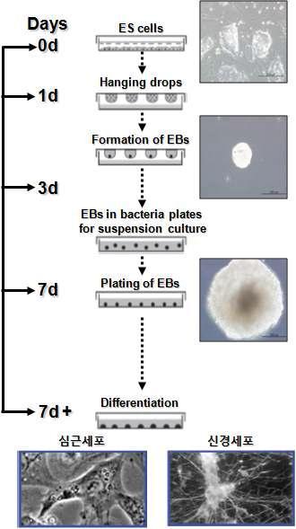 심근세포 및 신경세포로의 분화 과정