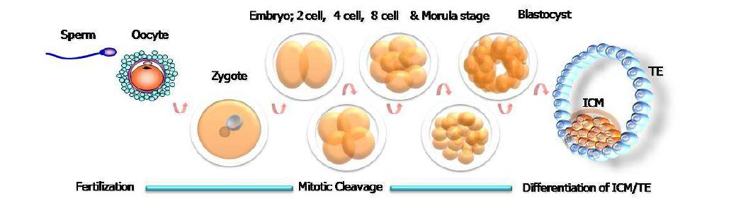 Fertilization, embryonic development and differentiation of blastocyst. ICM: inner cell mass, TE: trophectoderm.