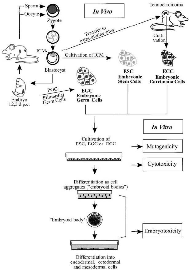 Origin and differentiation potential of embryonic stem (ES), and the use of the ES cell technology for mutagenicity, cytotoxicity and embryotoxicity analyses in vitro