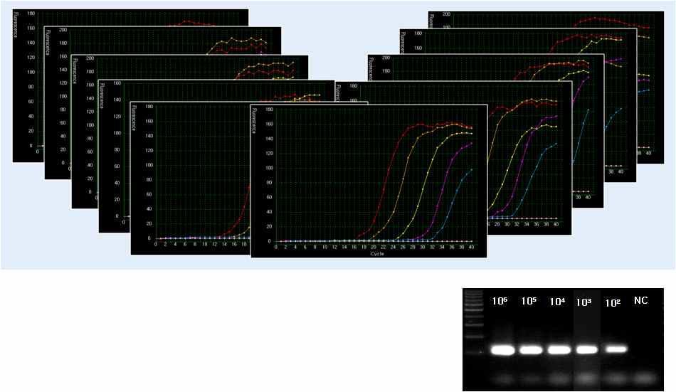 자사 Real-time PCR 장비를 이용한 농도별 재현성 10회 테스트에 대한 amplification curve 그래프 및 agarose gel 전기 영동 이미지