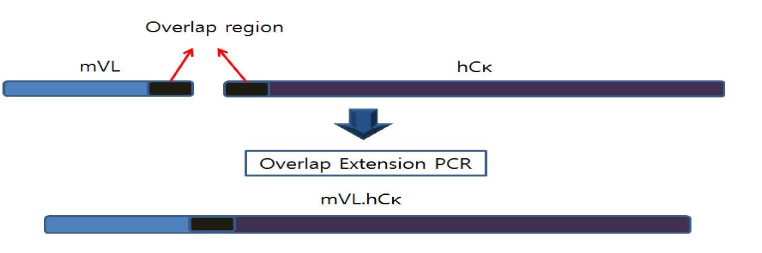 그림 2. Light chain 가변부위와 불변부위의 OE PCR 모식도