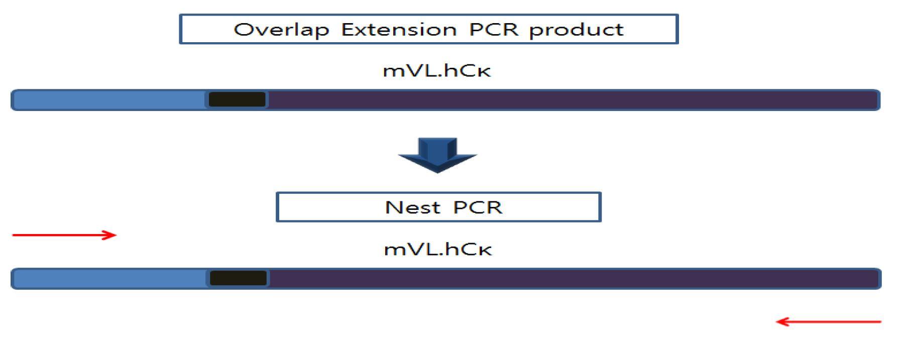 그림 3. Light chain 가변부위와 불변부위의 nest PCR 모식도