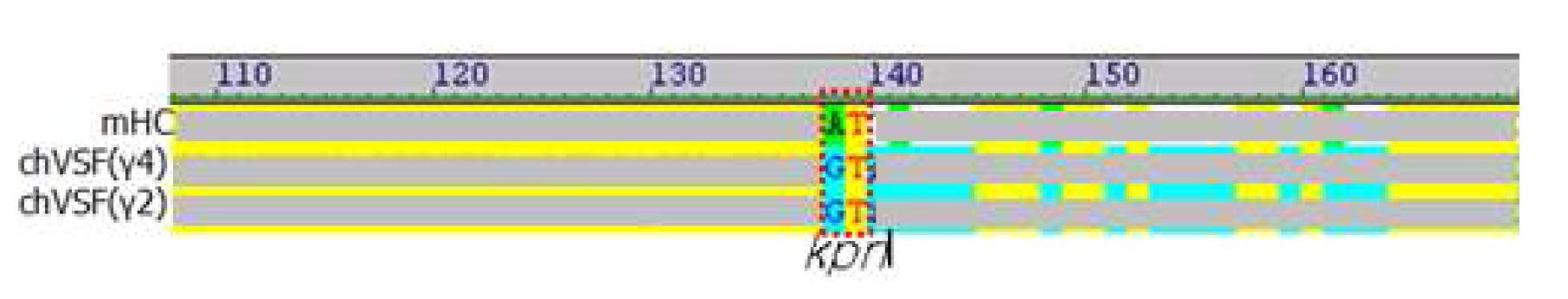 그림 4. 1세대 chVSF와 mVSF의 heavy chain 아미노산 서열 alignment