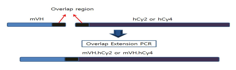그림 5. Heavy chain 가변부위와 불변부위의 OE PCR 모식도
