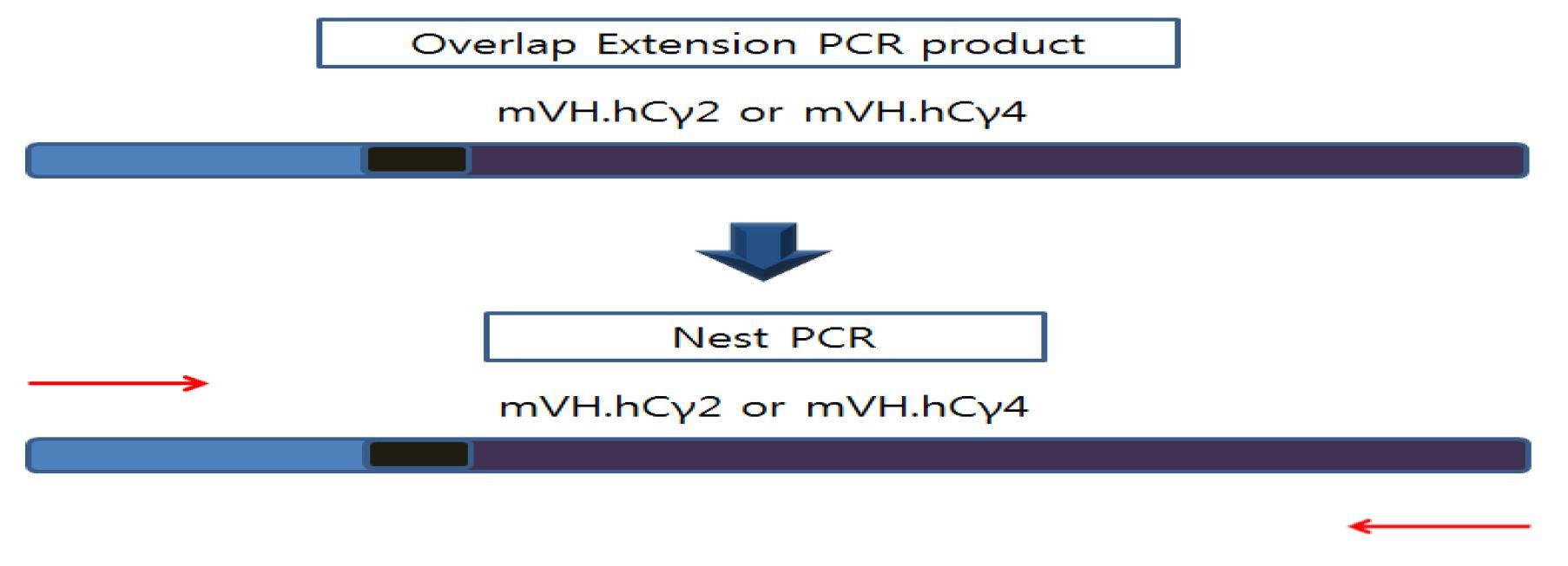 그림 6. Heavy chain 가변부위와 불변부위의 nest PCR 모식도
