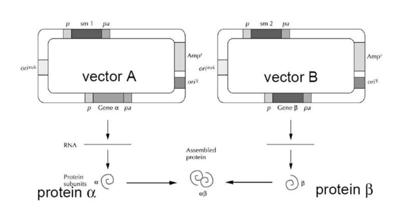 그림 8. Two vector expression system