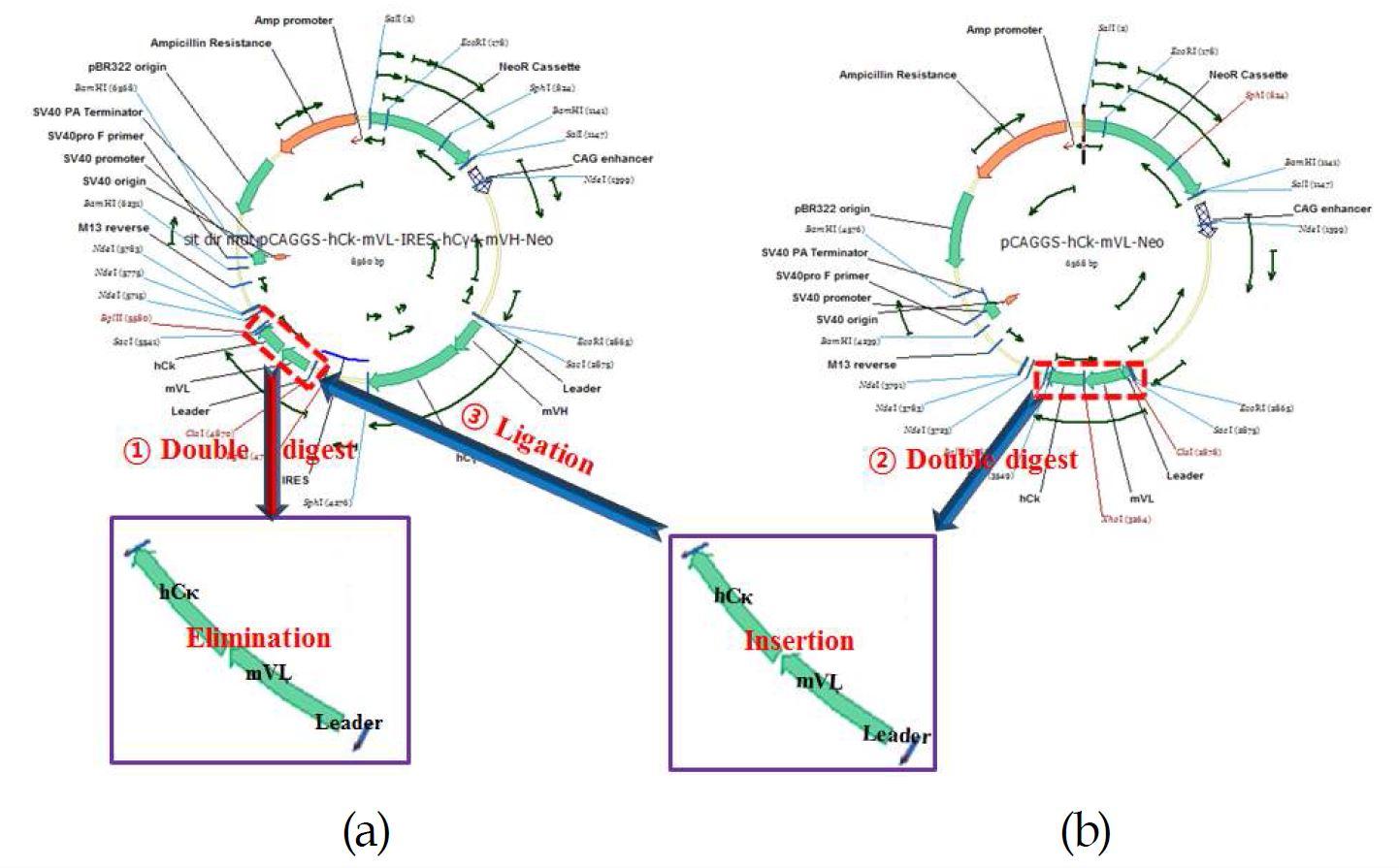 그림 10. (a)는 1세대 chVSF(Dicistronic vector)이고 (b)는 pCAGGS mVL.hCκ plasmid로 light chain 교체 모식도임