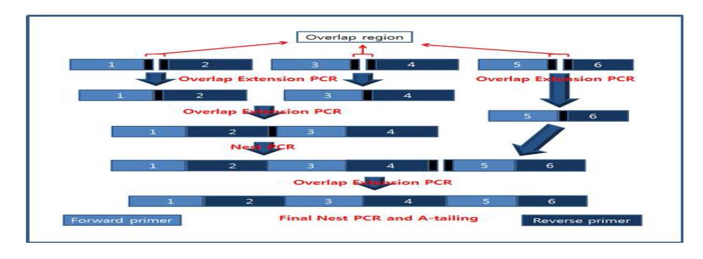 그림 13. HzVSF light chain variable region 제작을 위한 OE PCR 모식도