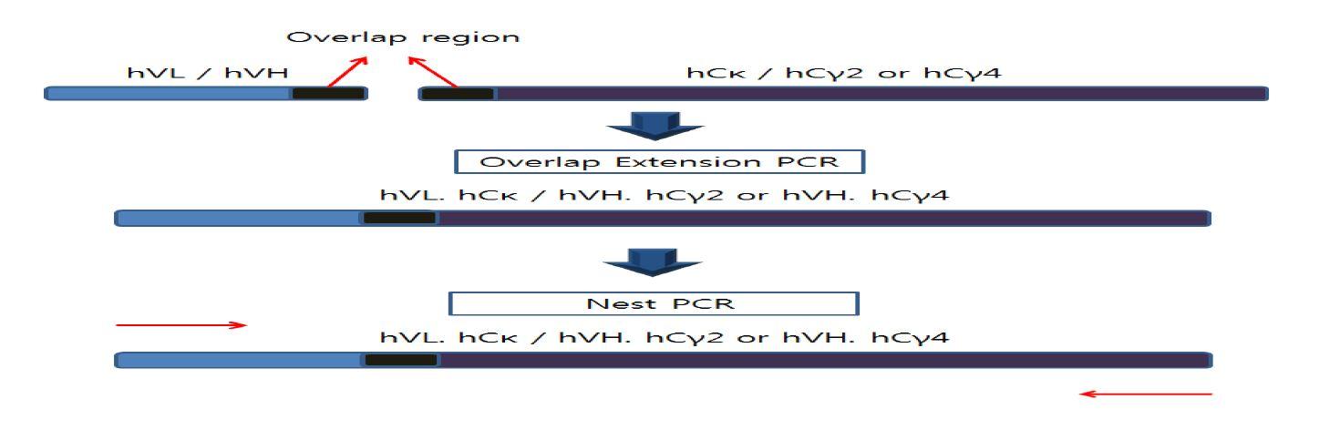 그림 16. hVL과 hCκ, hVH와 hCγ2 그리고 hVH와 hCγ4 OE PCR 모식도