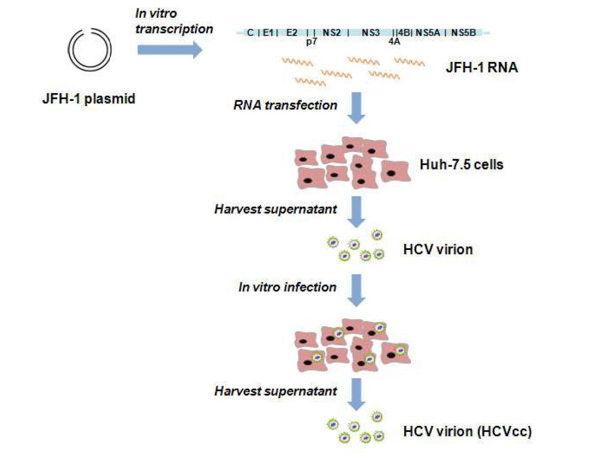 그림 19. HCVcc 감염 모델 모식도