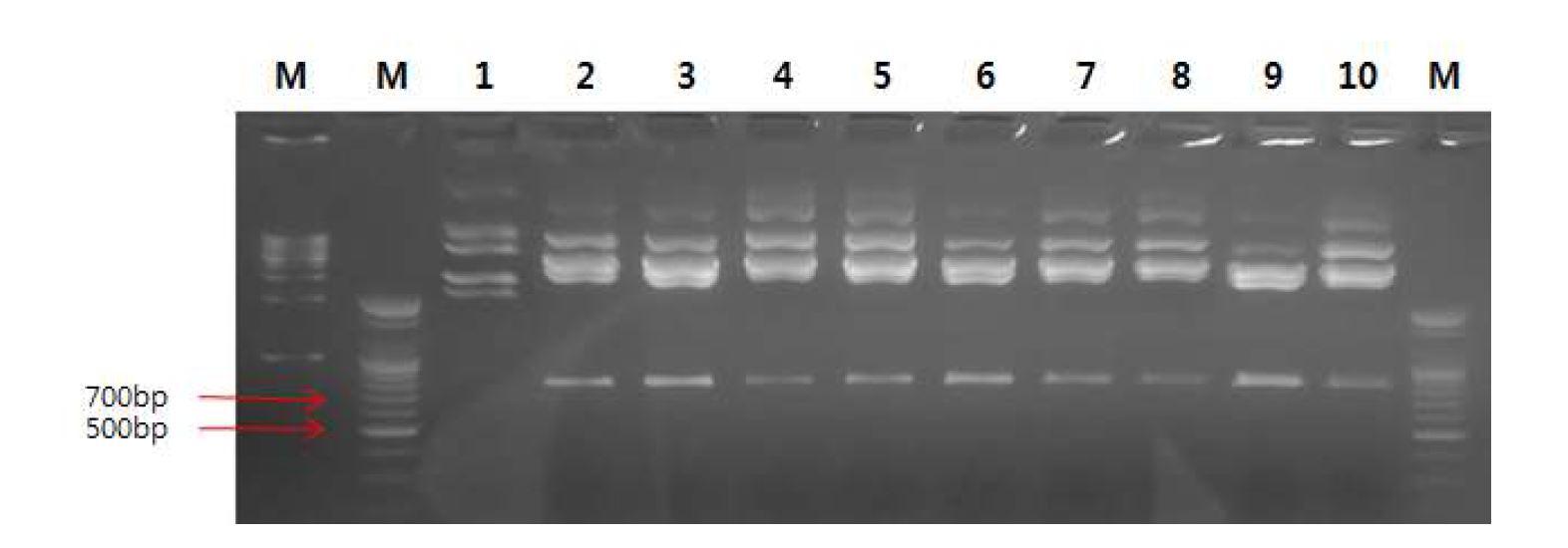 그림 20. pGEM-T easy vector와 insert DNA(mVL.hCκ)