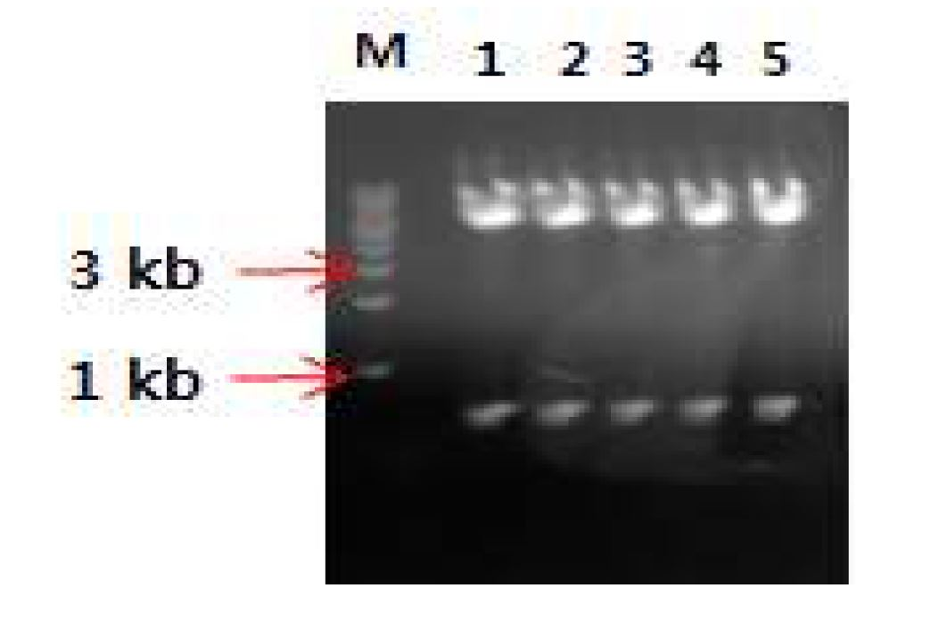 그림 21. pCAGGS vector와 insert DNA(mVL.hCκ)