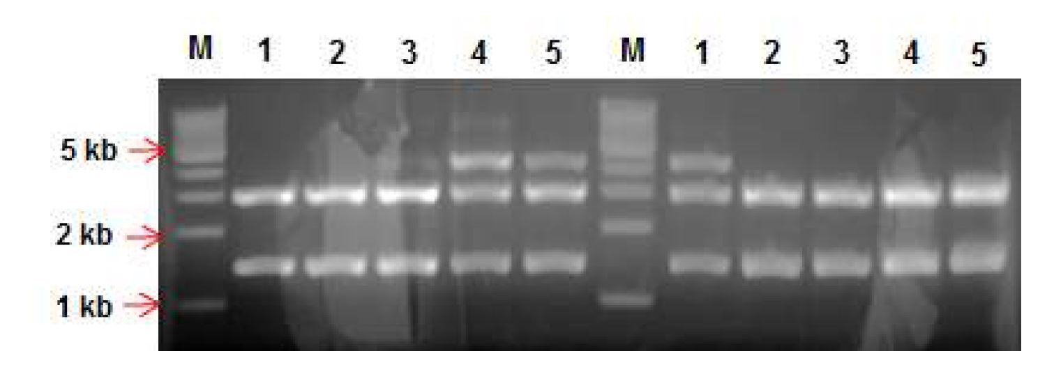 그림 22. pGEM-T easy vector와 insert DNA(mVH.hCγ2, mVH.hCγ4)