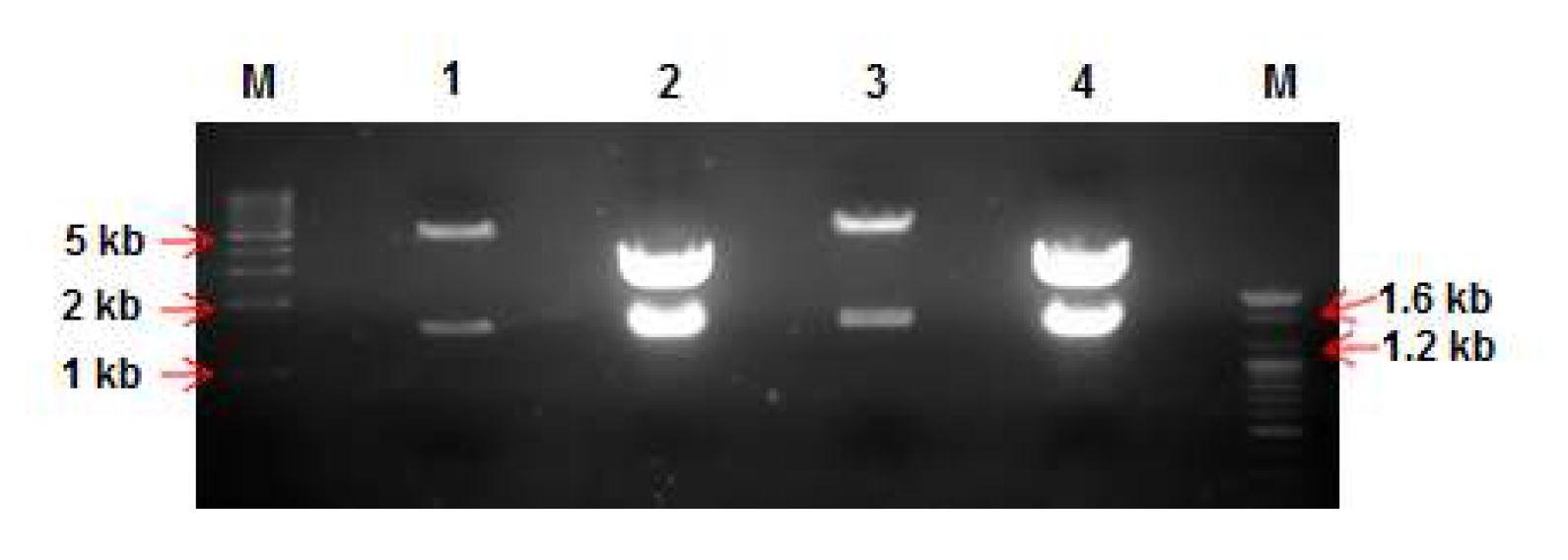 그림 23. pCAGGS vector와 insert DNA(mVH.hCγ2, mVH.hCγ4)