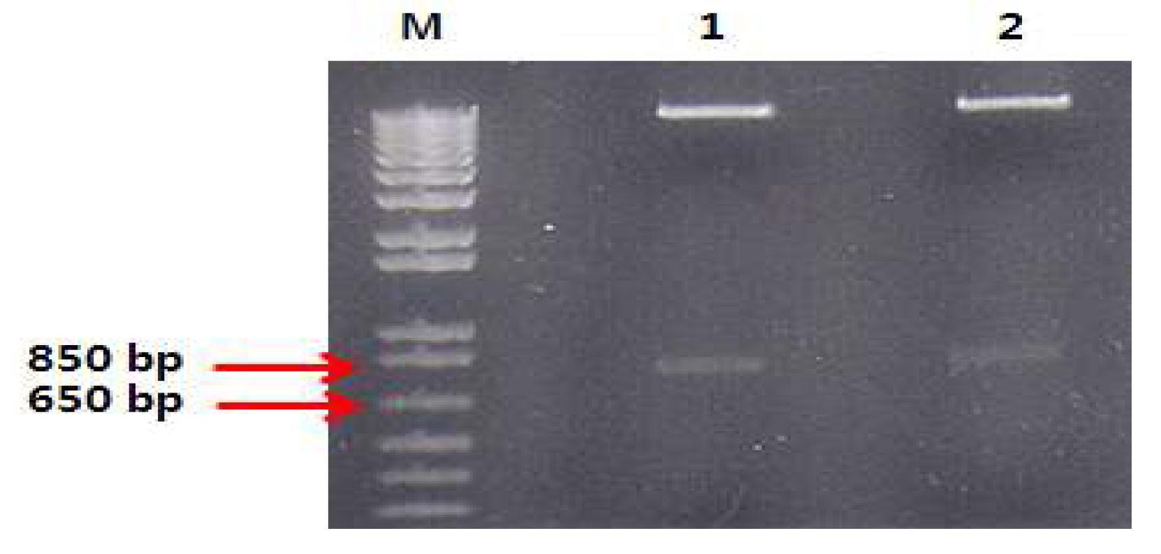 그림 27. Light chain이 교체된 pCAGGS mVL.hCκ-mVH.hCγ2와 pCAGGS mVL.hCκ-mVH.hCγ4를 ClaⅠ, BglⅡ로 digest한 결과