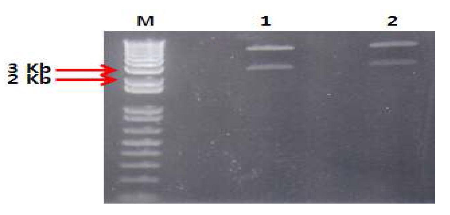 그림 28. 수정된 light chain과 heavy chain으로 교체된 pCAGGS mVL.hCκ-mVH.hCγ2와 pCAGGS mVL.hCκ-mVH.hCγ4를 SacⅠ으로 digest한 결과
