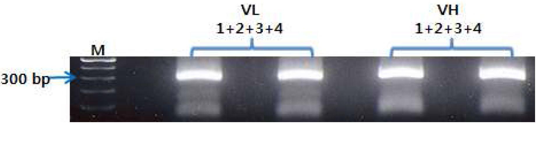 그림 41. PCR product 1, 2와 3, 4의 PCR 결과