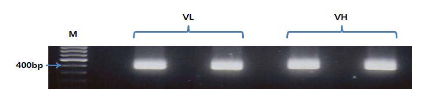 그림 48. pGEM-T easy hVL과 pGEM-T easy hVH를 template해서 PCR한 결과