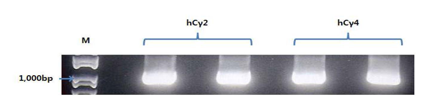 그림 50. pCAGGS mVH.hCγ2와 pCAGGS mVH.hCγ4를 template해서 PCR한 결과
