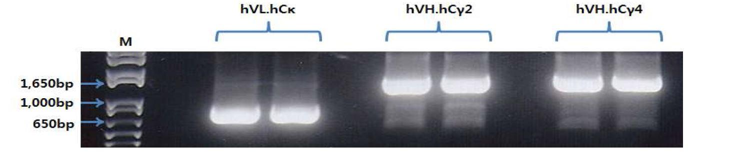 그림 51. PCR을 이용해서 variable region과 constant region 연결한 결과
