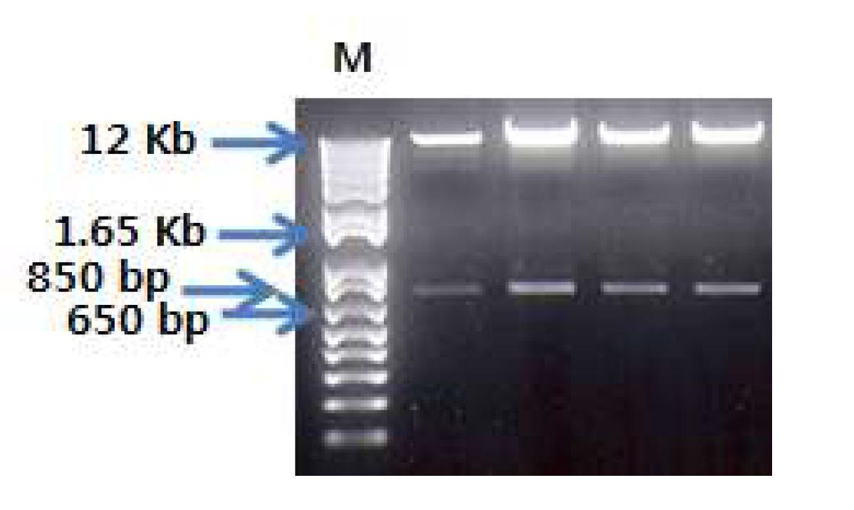 그림 55. pdCMV-dhfr-hVL.hCκ에서 HindⅢ-HF, XbaⅠ로 digest한 결과