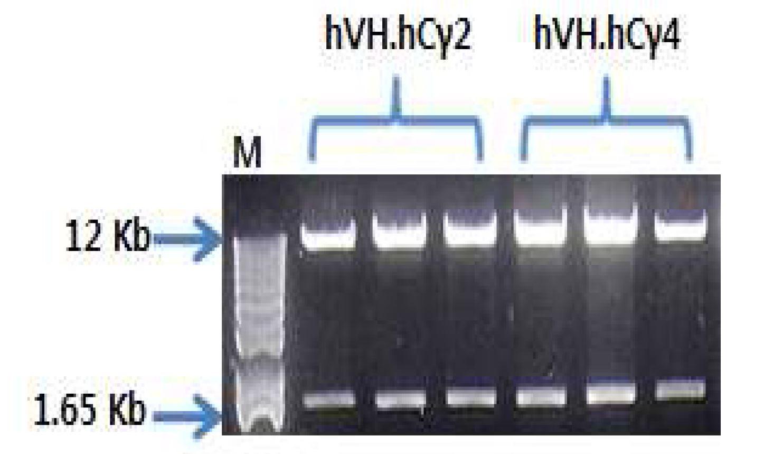 그림 56. pdCMV-dhfr-hVL.hCκ-hVH.hCγ2 및 pdCMV-dhfr-hVL.hCκ-hVH.hCγ2에서 EcoRⅠ-HF,NotⅠ-HF으로 digest한 결과