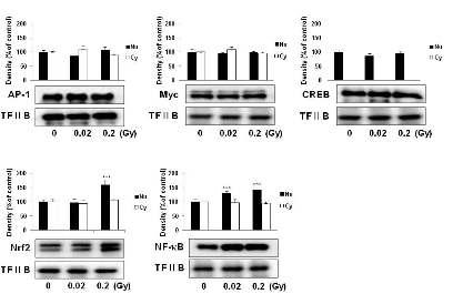 저선량 방사선조사에 의한 전사인자들의 단백질 변화량 확인