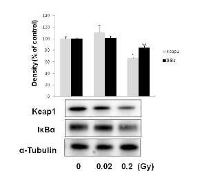 저선량 방사선조사에 의한 Keap1과 IκBa 변화 확인