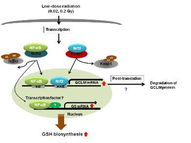 저선량 방사선조사의 Nrf2, NF-κB활성화를 통한 GCLM, GS 발현 기전