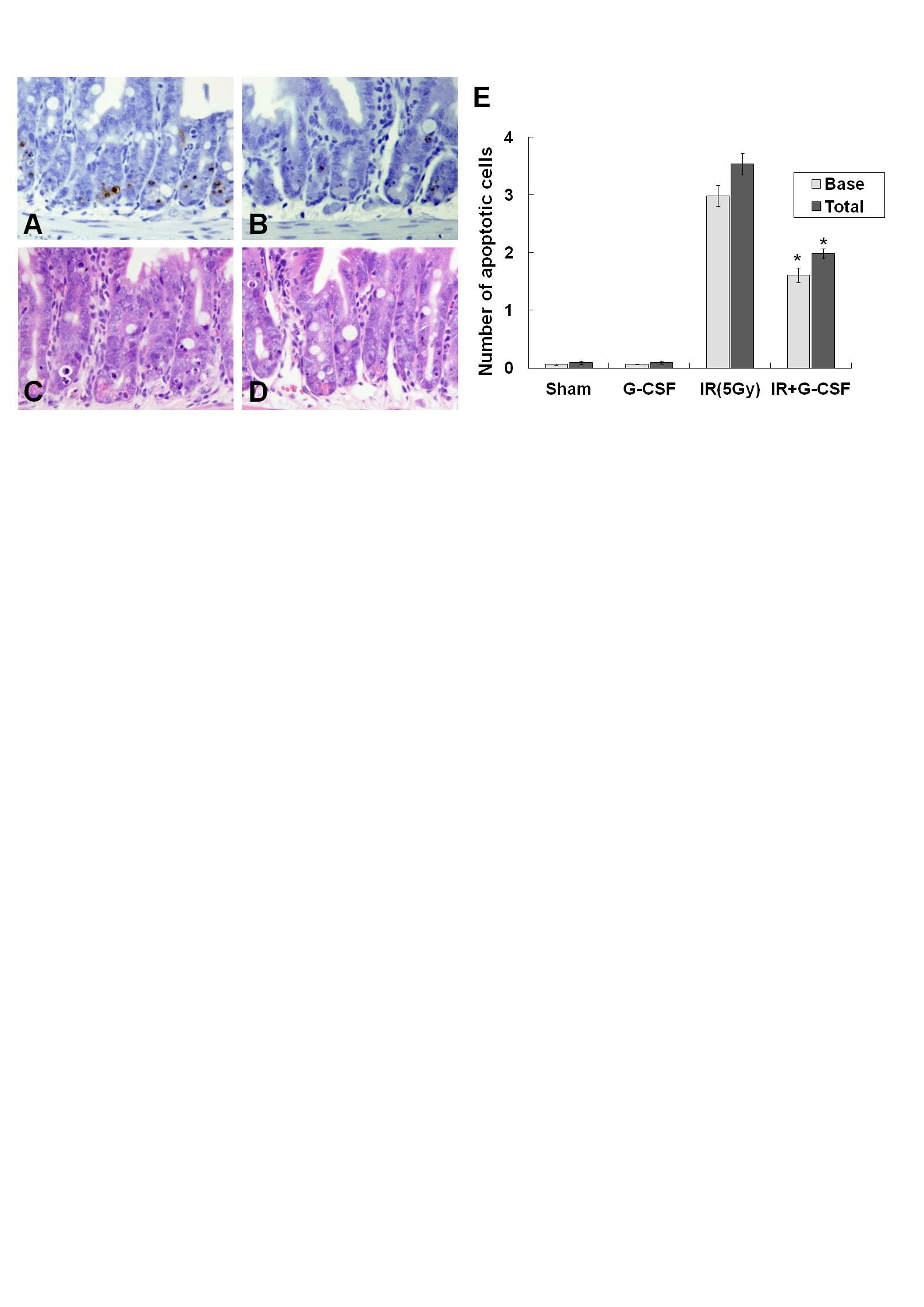 방사선 조사에 따른 공장의 apoptosis 변화