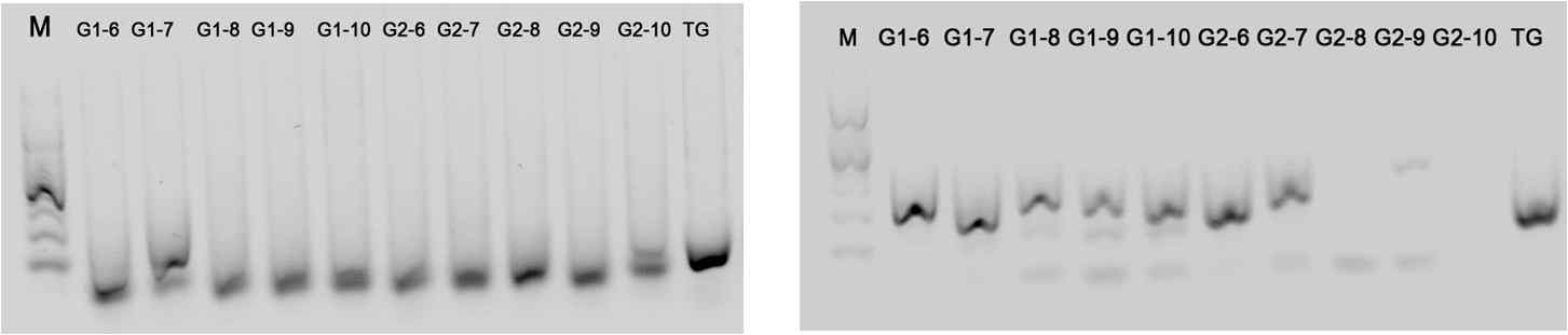 Band intensity relative to the Drosophila specific gene (left) andtransgenic specific gene (right) in the 2nd week. A refers the spider fed on the lab colony and G refers the spider fed on the transgenic drosophilla
